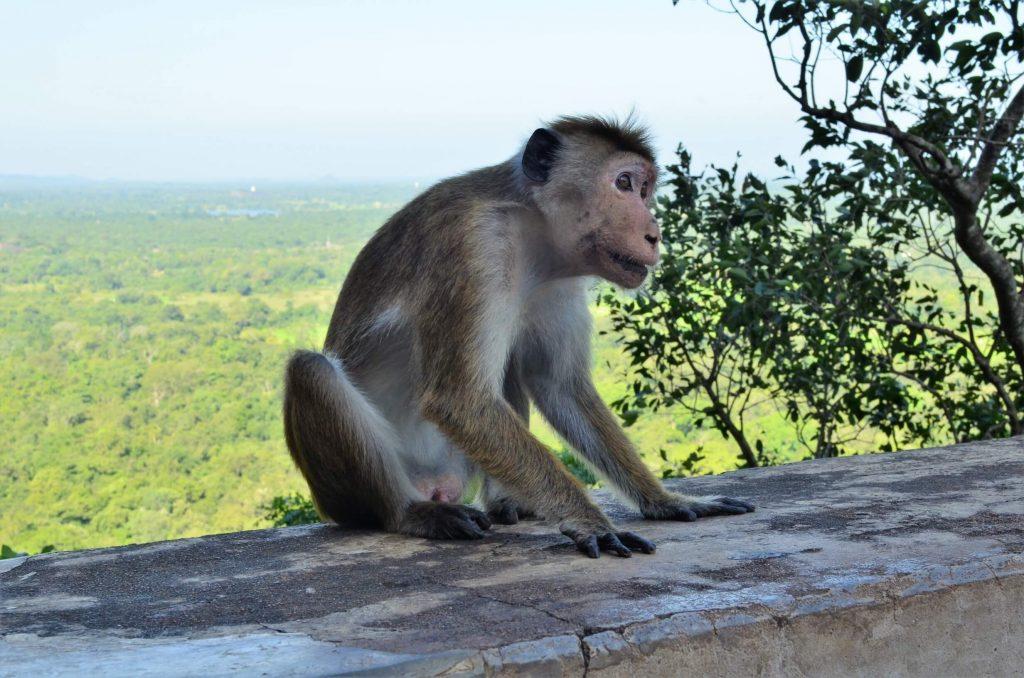 Opice v Sigíriy.