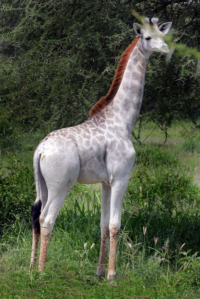 biela žirafa